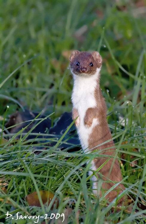ohmygoshbabyanimals:  This is a stoat and gosh dang it is adorable
