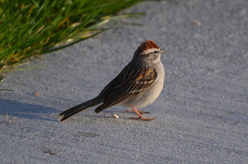 Chipping Sparrow by Steve Schar on Flickr.