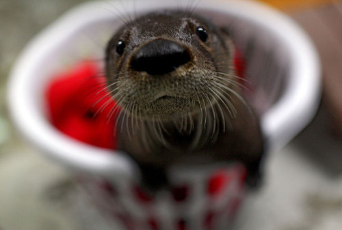 dailyotter:  Virginia Aquarium Takes in Abandoned Otter Pup! Help name him here! Via