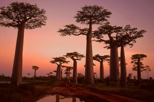 funnywildlife:  Baobab Trees, Madagascar, Off The East African Coast!!