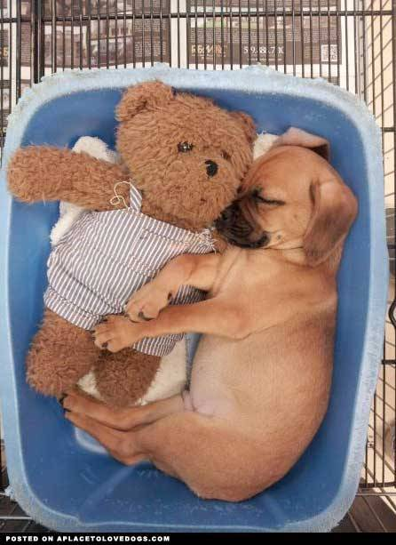 izismile A Puggle snuggle with Teddy Original Article