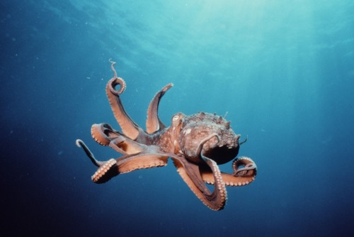scinerds:  How Octopuses Make Themselves Invisible Small pigment-filled cells, called chromatophores, and reflective ones called iridophores and leucophores, in the skin of most octopuses allow them to create nuanced patterns of color, luminosity and even harness polarized light to fool other ocean life.  This is so cool!  But the information they use to craft the overall effect has been debated. Do they survey the whole area in their proximity and incorporate the general hues and patterns into their skin display, or do they pick out just a few nearby landmarks for a more precise match? A new paper, published online last month in PLoS ONE, suggests that octopuses do focus on a limited selection of nearby objects in order to determine their disguise. Full Article