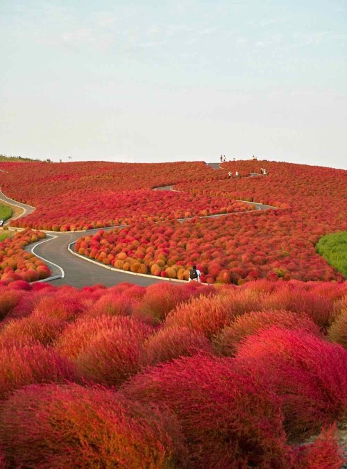 Japan's Scenic Hitachi Seaside Park Filled with woods, gardens, a mini amusement area and cycling courses sprinkled throughout the park, Hitachi Seaside Park is a must-see for anyone venturing to Japan.