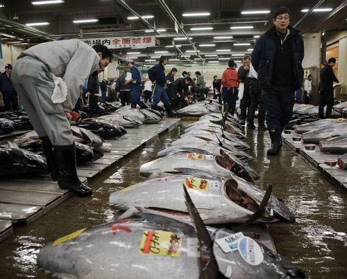 Avoid Pacific Bluefin Tuna, Radioactive or Not from DiscoveryNews' Christina Reed:  That marine biologists found elevated traces of radioactive Cesium in Pacific bluefin tuna is not reason enough to stop eating the fish. That the fish are often caught when they are only one or two years old and sold in markets and grocery stores before reaching maturity is. Pacific bluefin tuna (Thunnus orientalis) is fished unsustainably. In 2010 an international trade ban, which the United States supported, failed to draw the necessary votes to list bluefin tuna (both Pacific and Atlantic) under the protection of CITES Appendix I. The recognition would have listed the fish as threatened with extinction and prohibited international commercial trade. This type of protection is needed from the international community as without it even the Unites States continues to show weakness in taking stronger protection measures.  keep reading