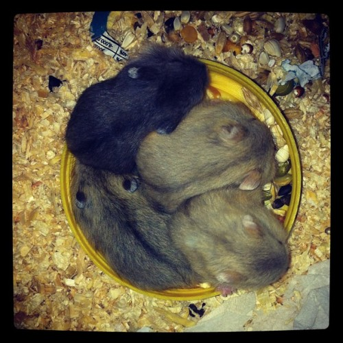 ALL MY BABIESSS!!! #hamster #baby #lovely #cute  (Taken with instagram)