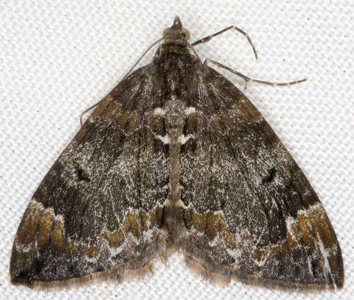 lepidopteric:  Common Marbled Carpet, Chloroclysta truncata.
