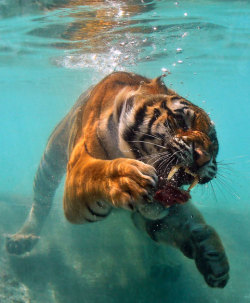 Aqua Tiger 2!! by Westley Hargrave