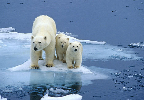 Lil' polar bear family :-3