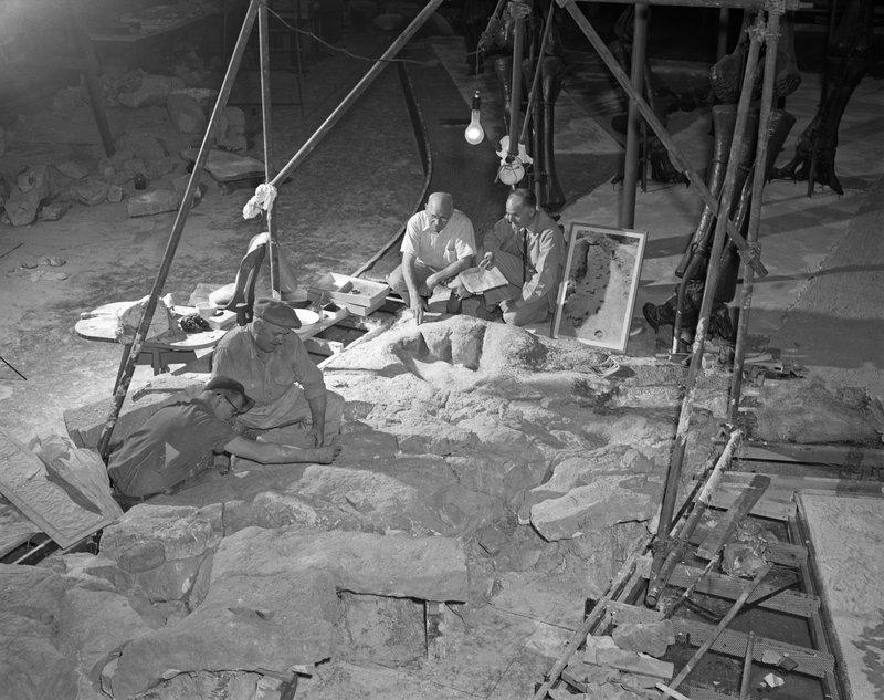 amnhnyc:  From the archives: Museum staff installing sauropod dinosaur tracks from Texas in one of the dinosaur halls, April 1952 Explore all the photos from the Picturing the Museum collection here: http://bit.ly/l8nOsp © AMNH Library/Image #2A2689