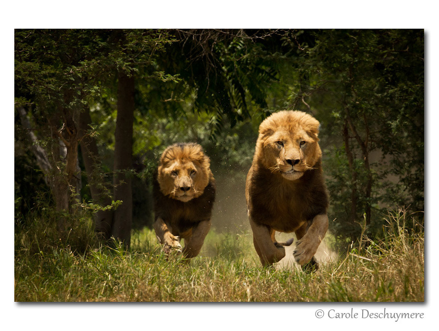 "magicalnaturetour:  Photo ""charging lions"" by Deschuymere Carole :)"