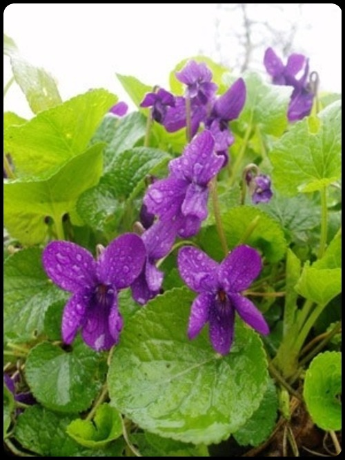 pretty little violets …