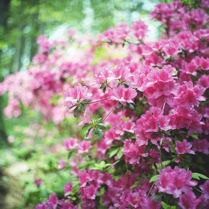 late season bloomer // washington dc // rolleiflex 2.8e It was nice that we were able to find cherry blossoms that bloom later in the season compared to others. these were luckily in full bloom mid-April instead of March, which made seeing cherry blossoms possible on our road trip.