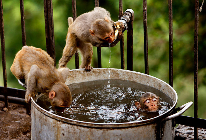 theanimalblog:  A couple of monkeys quench their thirst as another takes a dip on a hot summer afternoon on the outskirts of Jammu, India.  Photograph: Channi Anand/AP  ♥ ♥