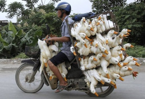 Bike Full of Ducks If one guy bought all those ducks it's going to be a pretty big bill.