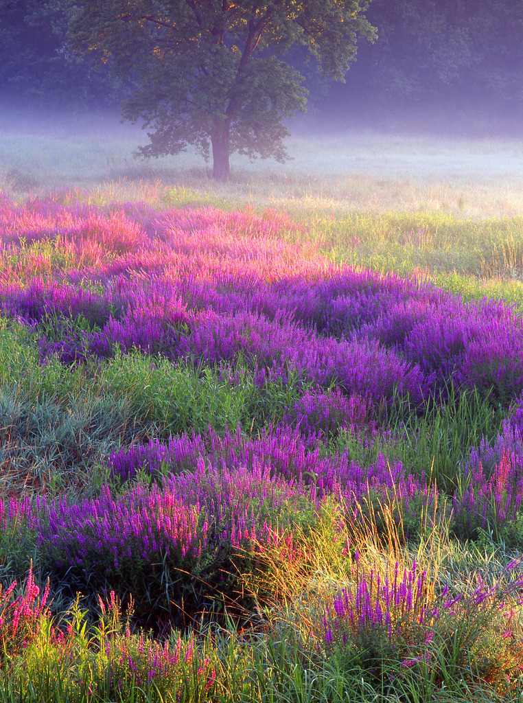 imprecise:  meadow of loosestrife (by jjraia)
