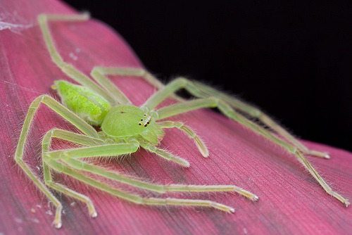 tobyaudax:  adorablespiders:  green huntsman, Micrommata virescens   They're just loungin', havin' a good ol' time. I love huntsman spiders so much.