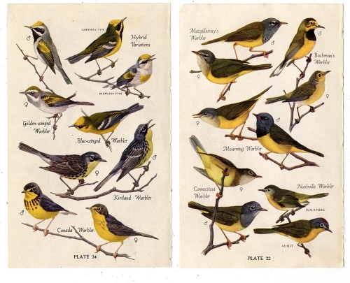 waxxwing:  Warbler Variations [click to zoom]