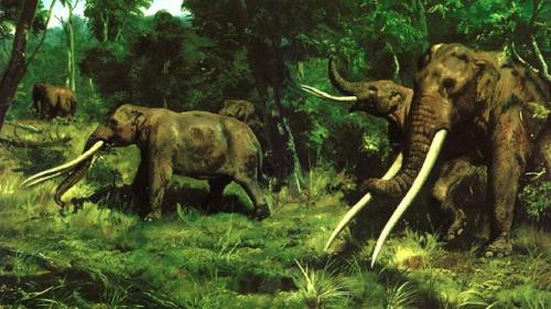 lostbeasts:  Anancus.A Pleistocene gomphothere from Eurasia and Africa. It had two tusks instead of the four that gomphotheres usually had. Its two tusks were far larger in proportion to their bodies than modern elephants- being up to 13 metres in length.