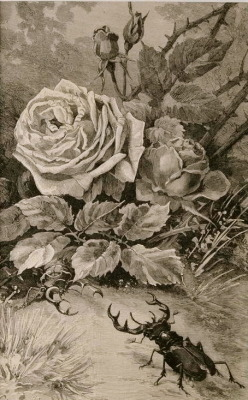 mary-beth:   Engraving of Stag Beetles with Roses (1892)
