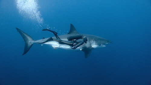 fly-with-ravens:  Great White
