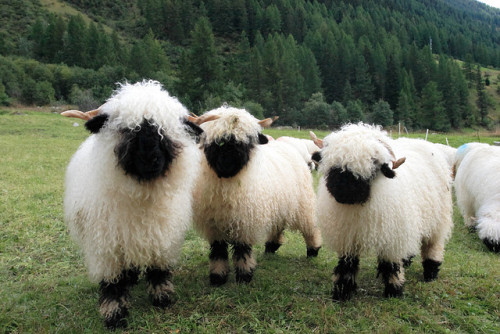 manycurrentssmallpuddle:  Gah!  I love these sheep!  I can't resist reblogging them every time they show up on my dash.  THEY ARE SO FLUFFY!