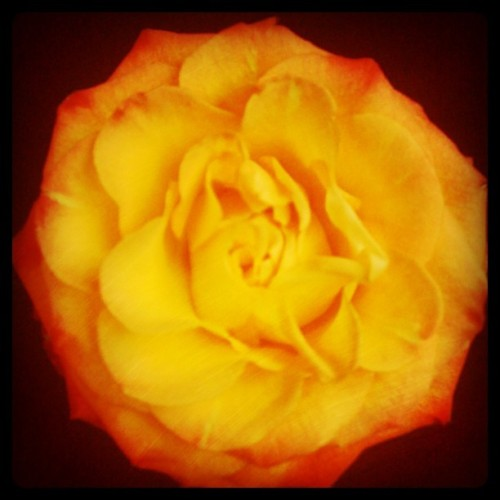 Such a pretty #rose (Taken with instagram)