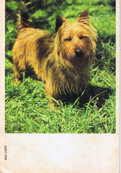 Australian Dogs Australian Terriers This breed has only been recognised by overseas Kennel Associations since 1962. However has been bred in Australia for many decades. Is believed to be a cross of Yorkshire and Skye Terriers Has the distinctive coat of the Yorkshire Terrier. Being small makes an excellent domestic pet. (c) Produced by the Stamp Promotion Councils