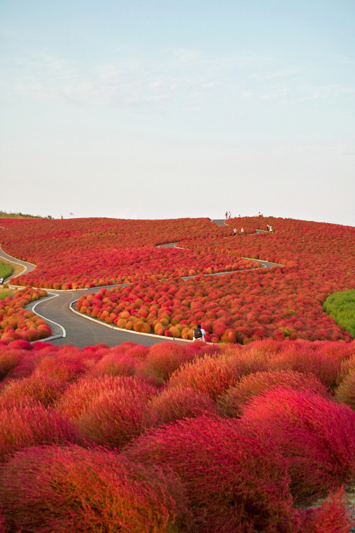 swedesinstockholm:  hslz: Kochia Hill, Hitachinaka City, Japan