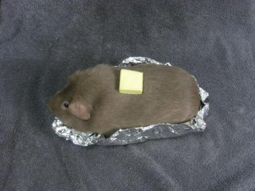 i-like-pigeons:  Guinea pig disguised as a baked potato