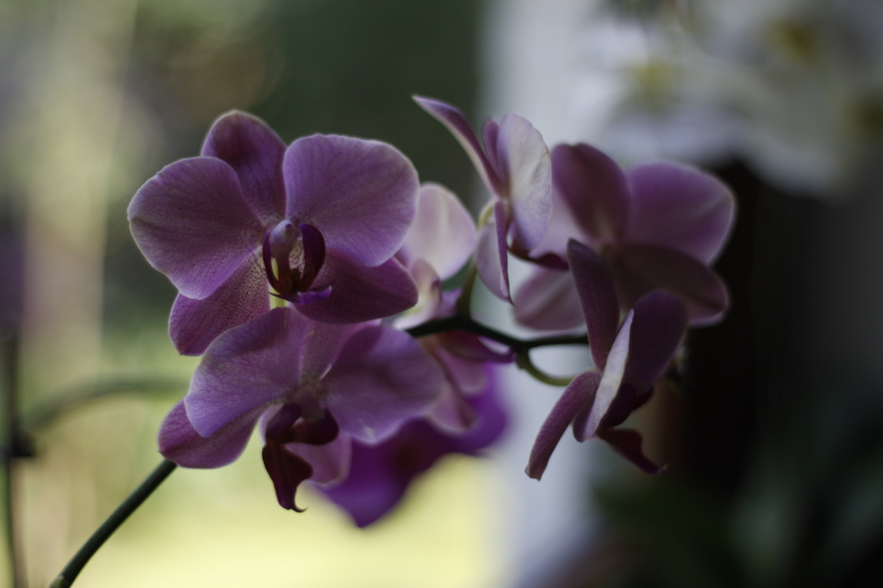 Orchids. Preetz, Germany.