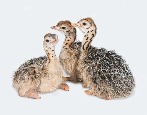 yes, this is a photo of three baby ostriches.  they're so disgusting it's adorable.