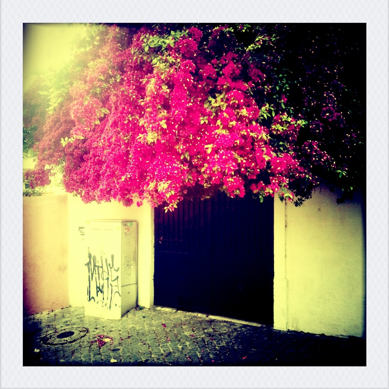 the great bougainvillea. [lisbon, portugal]