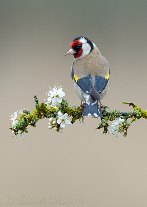 "magicalnaturetour:  ""Goldfinch on Sloe Blossom"" by Dean Mason :)"