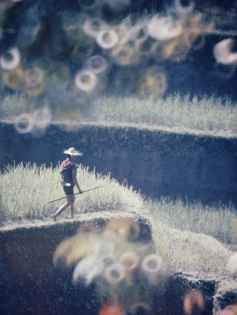 Man walking through a terraced rice paddy