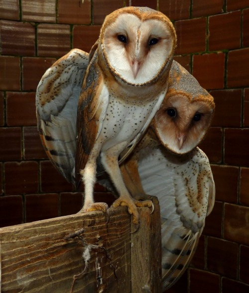 Get Started The Barn Owls.by William Groah