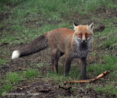llbwwb:  Fox (by IRON78)