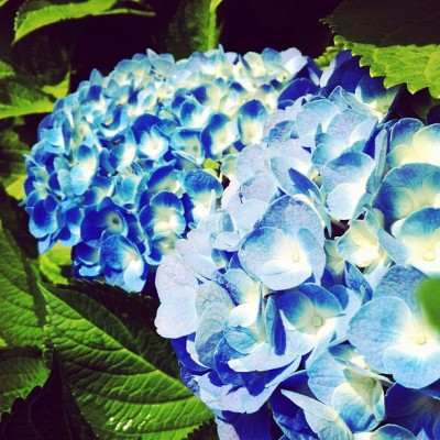 #hydrangea #flowers #flower (Taken with instagram) @instacanv.as