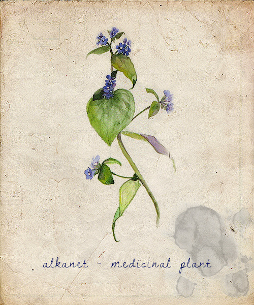 Everdeen's Book of Plants  * Alkanet