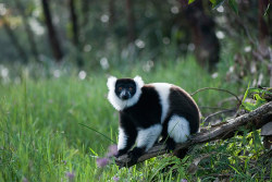 A black and white ruffled lemur, an endangered species of lemur, in a nature reserve in Andasibe, Madagascar. The disappearance of adjoining habitat outside the area is the main threat to the critically endangered lemurs Photograph: He Xianfeng/Corbis