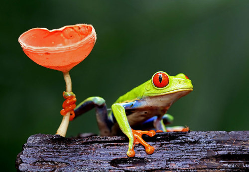 A red-eyed tree frog Photograph: Megan Lorenz / Rex Features/Rex Features