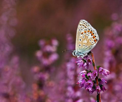 Uma borboleta bluel comum.  Borboleta números caíram mais de um quinto em todo o interior do Reino Unido no ano passado, um estudo revelou Fotografia: Matt Berry / borboleta Conservatio / PA