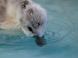 An orphaned cygnet swims in a trainer pool at the Swan Sanctuary in Shepperton, south-west London. The national waterfowl sanctuary lies on the site of an old gravel pit and consists of a hospital wing complete with operating theatre, a heated intensive care section and a recovery area with an exercise pond Photograph: Luke Macgregor/Reuters