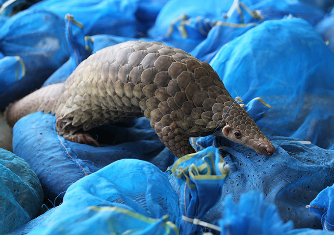 A pangolin crawls on bags wrapping other pangolins during a news conference on wildlife rescue in Bangkok, Thailand. Thai customs officers rescued 138 endangered pangolins worth about $46,000 that they say were to be sold and eaten outside the country. The animals hidden in a pickup truck were seized at a custom check point in Chumporn province, south of Bangkok, according to the officials Photograph: Apichart Weerawong/AP