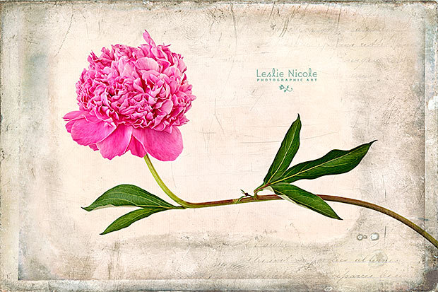 Peony Gesture. From the garden. Texture: French Kiss Collections