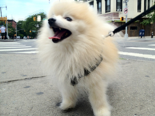 tommypom:  Strollin' around Brooklyn, bringing smiles to people's faces.
