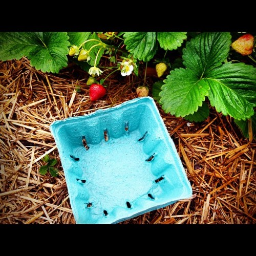 #2photoadayjune~EMPTY container ready for strawberry picking @ Fishkill Farms.  (Taken with instagram)
