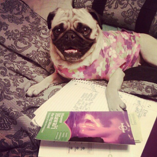 roxy is helping me plan my vacation :) thinking about making an ilovepugs instagram account!