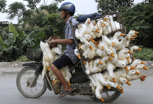 disrobing:  A man transports ducks on a motorcycle to a market in Nam Ha province, outside Hanoi  May 31, 2012. REUTERS/Kham