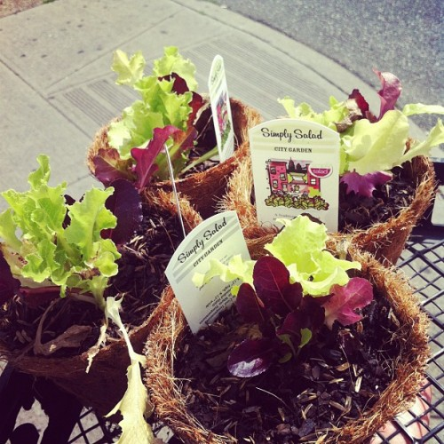 Gonna plant us some salad, @acpants! (Taken with instagram)