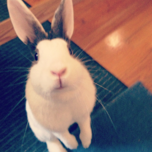 My rabbit, Penny, begging for (and receiving) treats.